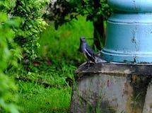 Magpie. Cute magpie in garden, Bangkok Thailand royalty free stock photography