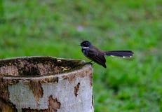 Magpie. Cute magpie in garden, Bangkok Thailand royalty free stock photo