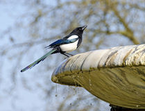 Magpie drinking water from a fountain Stock Images