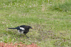 A magpie while eating Royalty Free Stock Images