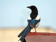 Magpie em um telhado da garagem. Foto de Stock