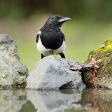 Magpie em uma rocha Fotografia de Stock Royalty Free
