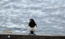 Magpie Stock Photo