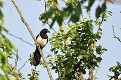MAGPIE Royalty Free Stock Photos