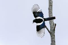 Magpie europeu, pica do pica Fotografia de Stock