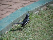 Magpie faturado preto imagens de stock