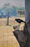 Magpie feeding from giant cup and saucer Stock Images