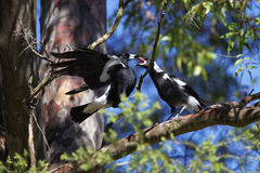 Magpie feeding juvenile in tree. An Australian Magpie bird comes flying to its juvenile in a tree for feeding. Wildlife in Sydney Stock Photography
