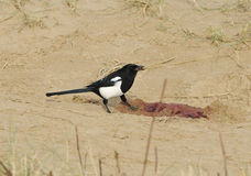 Magpie feeding on seal afterbirth Royalty Free Stock Photo