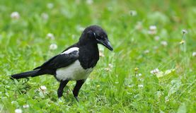 Magpie on field. Royalty Free Stock Image