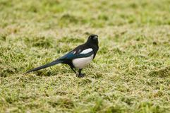 Magpie in a field Stock Photography