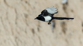 Magpie in Flight Royalty Free Stock Photo