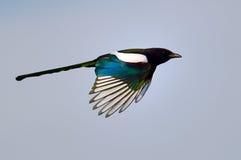 Magpie in flight (pica caudata) Stock Photography