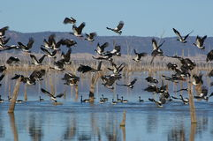Magpie Geese. Birds in flight Royalty Free Stock Photo