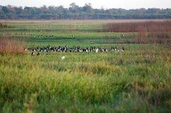 Magpie Geese stock photos