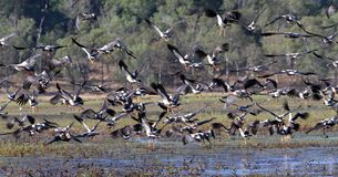 Magpie Geese Royalty Free Stock Images