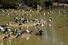 Magpie geese Stock Photos