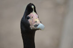 Magpie goose Royalty Free Stock Photos
