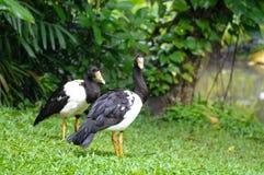 Magpie Goose Anseranas semipalmata Magpie Goose stock image