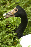 Magpie goose. Endangered goose staring the environment to lay her egg Royalty Free Stock Photography