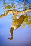 Magpie goose reflecting Stock Photos