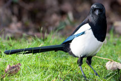 Magpie on Grass with Autumn Leaves Stock Photography