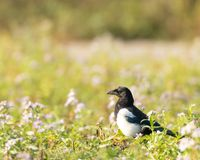 Magpie in grass with flowers. Magpie,Pica Pica, standing on grassy ground in Hainault Forest country park in England, UK royalty free stock images