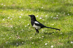 Magpie on the ground Royalty Free Stock Photo