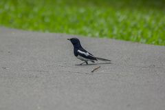 Magpie is on the ground. stock photo
