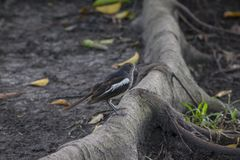 Magpie is on the ground. royalty free stock photography