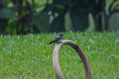 Magpie is on the ground. royalty free stock image