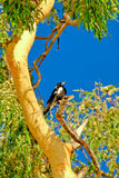 Magpie in Gum tree 2. A magpie perched in a gum tree in red soil country in The Australian Outback stock photos