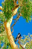Magpie in Gum tree #2. A magpie perched in a gum tree in red soil country in The Australian Outback stock image