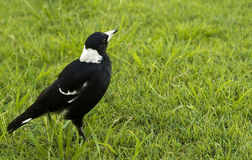 Magpie Gymnorhina tibicen agressive bird Stock Images