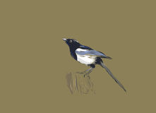 Magpie Royalty Free Stock Image