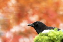 Magpie headshot stock photography