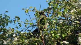 Magpie Hiding in a Hawthorn Bush 2 stock photos