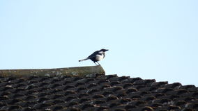 Magpie on the house Stock Images