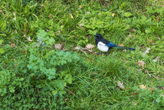 Magpie in Hyde Park Royalty Free Stock Photography