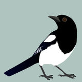 Magpie. An illustration of a magpie Stock Images