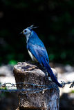 Magpie jay Stock Images