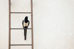 Magpie on ladder Royalty Free Stock Photography