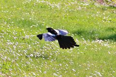 The magpie. Is a large species of corvids among the most common in Europe and much of Asia. In France and Belgium, it is also known under the name of ageasse Stock Image