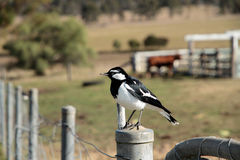 Magpie Lark Royalty Free Stock Photo