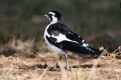 Magpie-lark, Australia - 1 Royalty Free Stock Photos