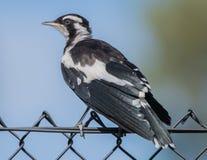 Magpie-lark, Australia - 3 Stock Photo