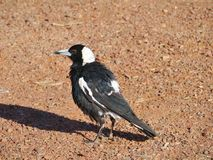 Magpie lark on the Australian red earth Royalty Free Stock Images