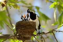 Magpie Lark feeding. The chicks in the nest Royalty Free Stock Images