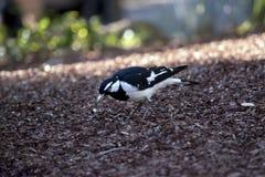 Magpie-lark Royalty Free Stock Photo