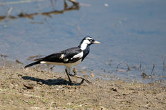 Magpie Lark, Queensland, Australia Stock Photography
